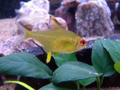 http://www.tetras.ru/foto/fish/hyphessobrycon_pulchripinnis.jpg